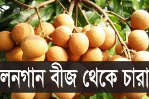 লনগান বীজ থেকে চারা || How To Grow Longan fruit from Seed